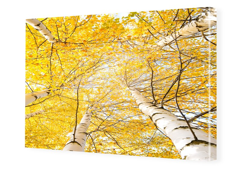 Birken Bilder Bilder auf Leinwand im Format 120...