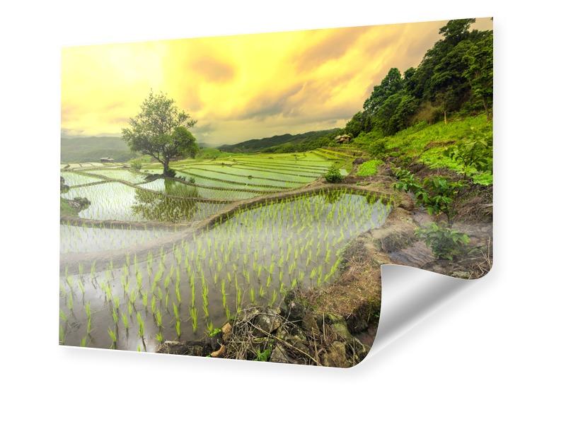 Reisfeldbild Posterdruck im Format 90 x 60 cm