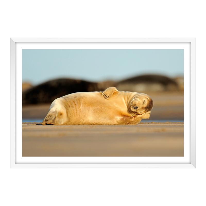 schlafende Robbe Foto Panoramafoto im Rahmen au...