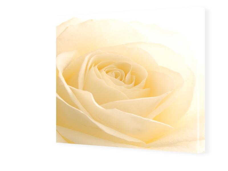 Bild Rose Fotos auf Leinwand quadratisch im For...