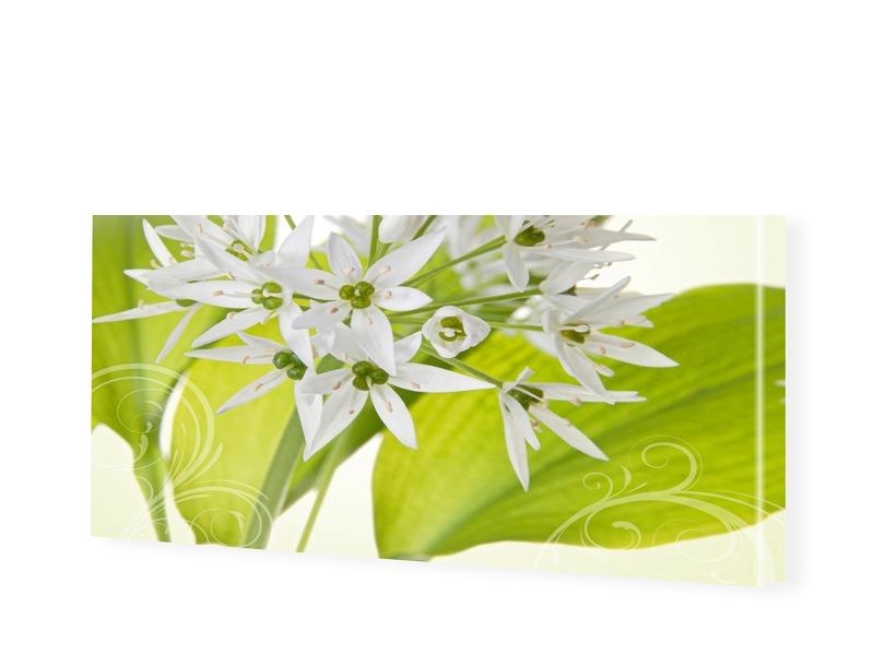 weißer Allium Leinwandbild als Panorama im Form...