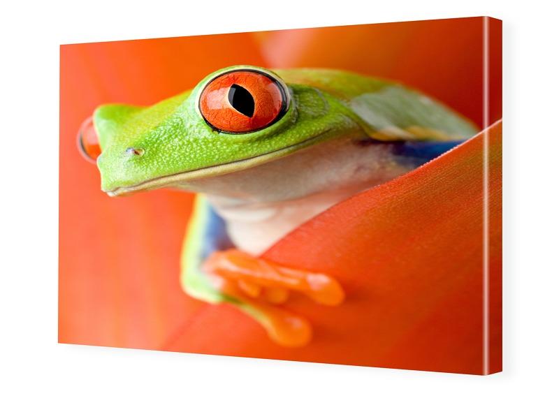 Frosch Poster Foto auf Leinwand im Format 80 x ...