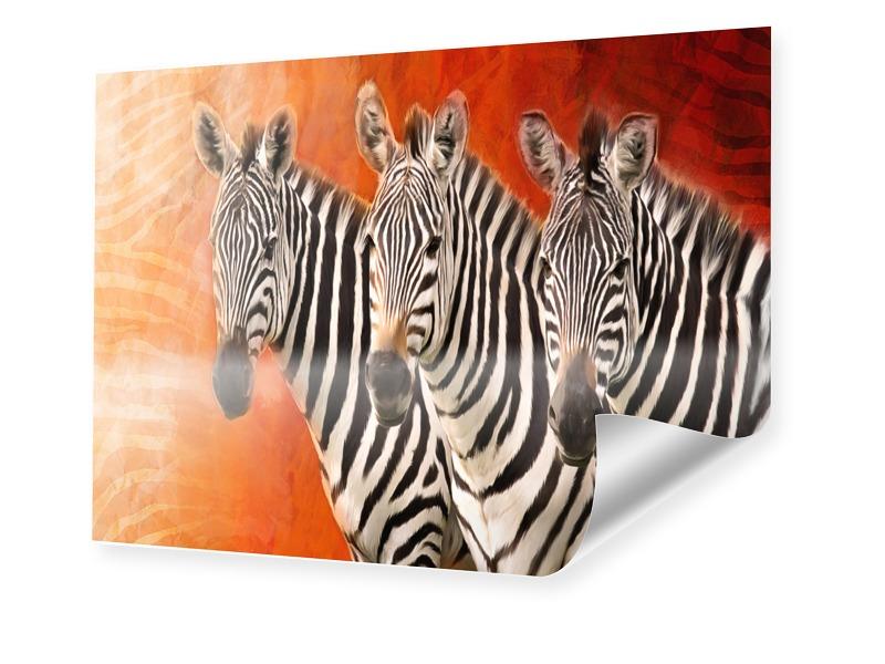 Zebra Poster Foto im Format 50 x 40 cm