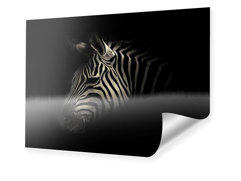 Zebra Portrait Foto im Format 70 x 50 cm