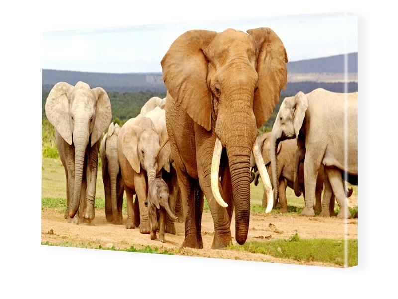 Elefanten Fotos Leinwand drucken im Format 240 ...