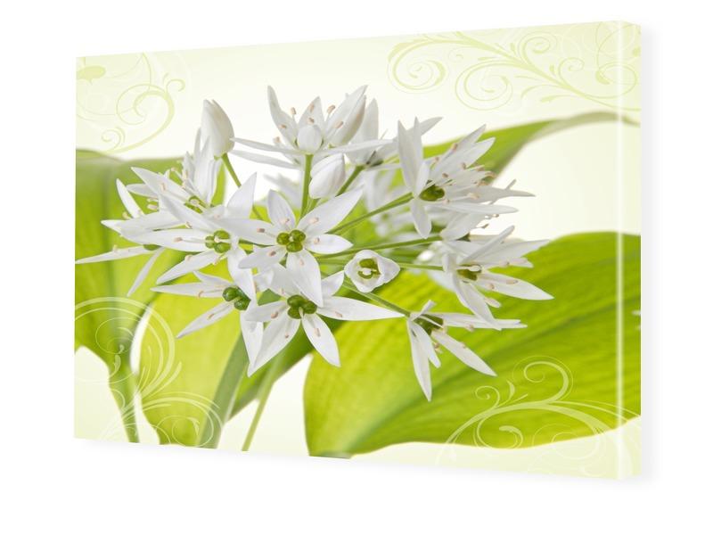 weißer Allium Foto auf Leinwand im Format 60 x ...