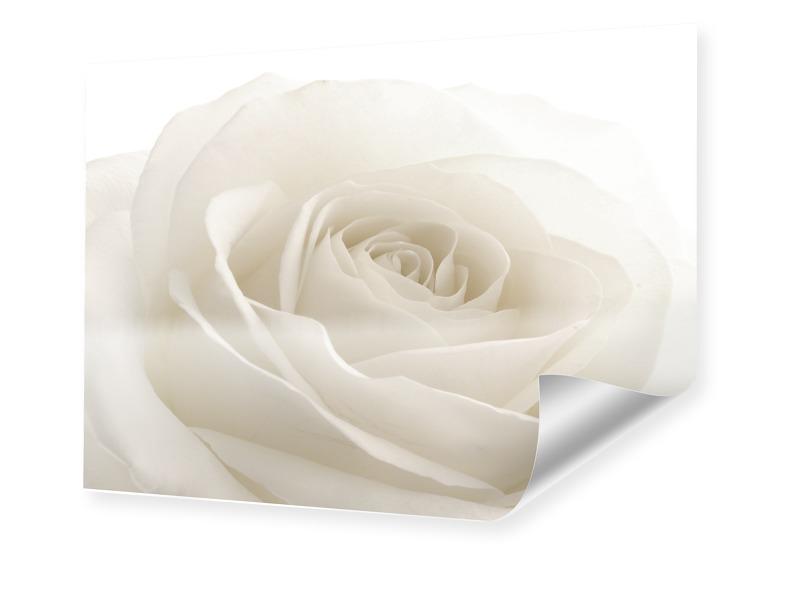857d74af25a16017d8588a827afd50ae5c6989f7 - Photo de rose blanche Poster en format 80 x 60 cm