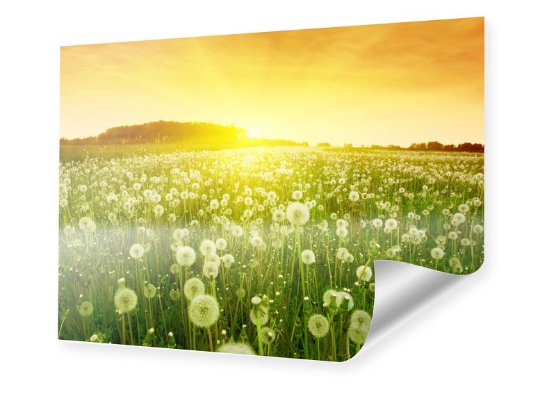Pusteblume Bild Poster im Format 60 x 45 cm