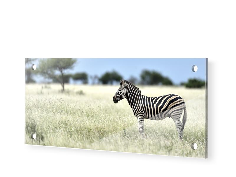 Zebra Fotografie Acrylglas Druck als Panorama i...