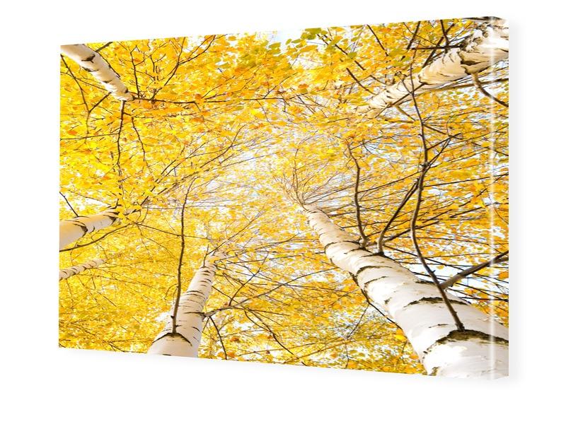 Birken Bilder Foto auf Leinwand im Format 80 x ...
