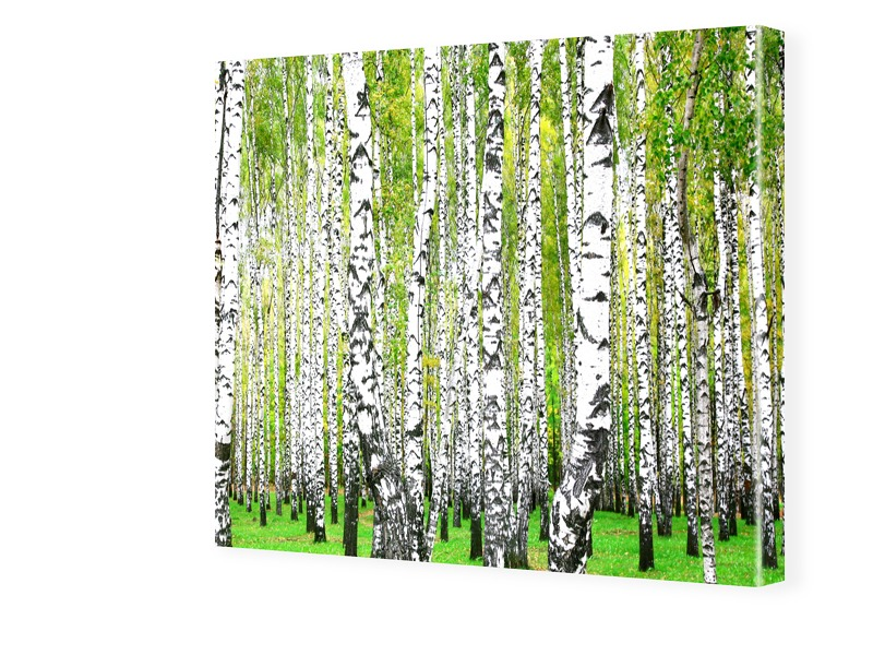 Birkenbilder Fotos auf Leinwand quadratisch im ...