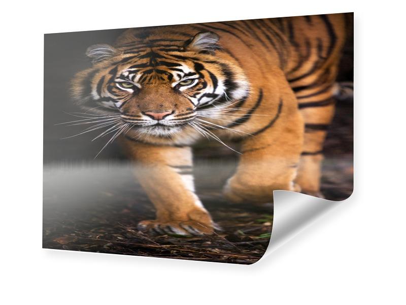 Tiger Poster Foto im Format 18 x 13 cm