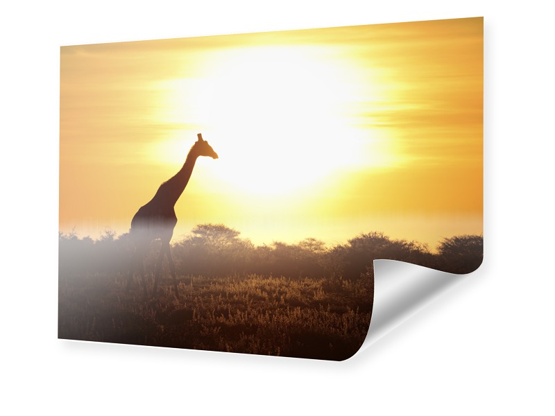 Giraffe im Sonnenuntergang Posterdruck im Forma...