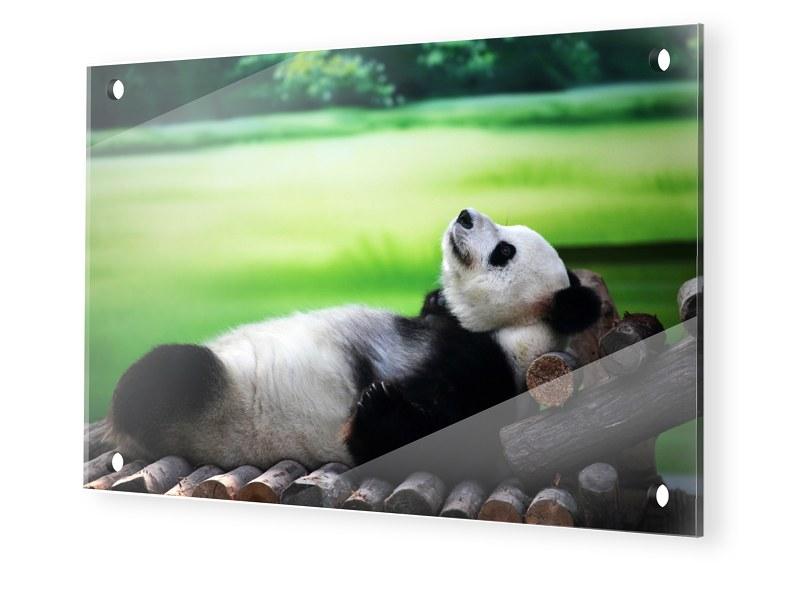 Panda Bild Glasbilder im Format 75 x 50 cm