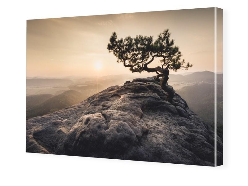 Old Pine Leinwand drucken im Format 112 x 63 cm