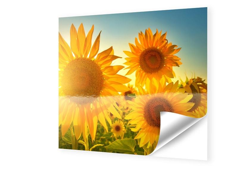 Sonnenblumen Bild Fensterfolie quadratisch im F...