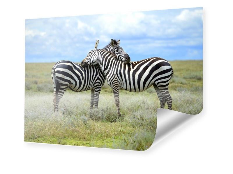 Zebras Foto Foto im Format 70 x 50 cm