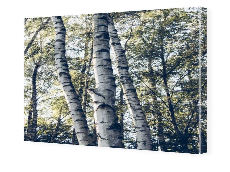 Birkenwaeldchen Bilder auf Leinwand im Format 1...